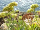 DSCF0953_rock_samphire_title