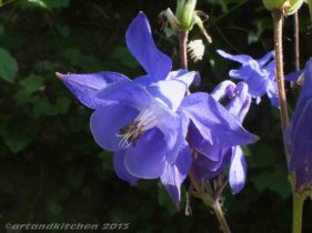 European columbine flower