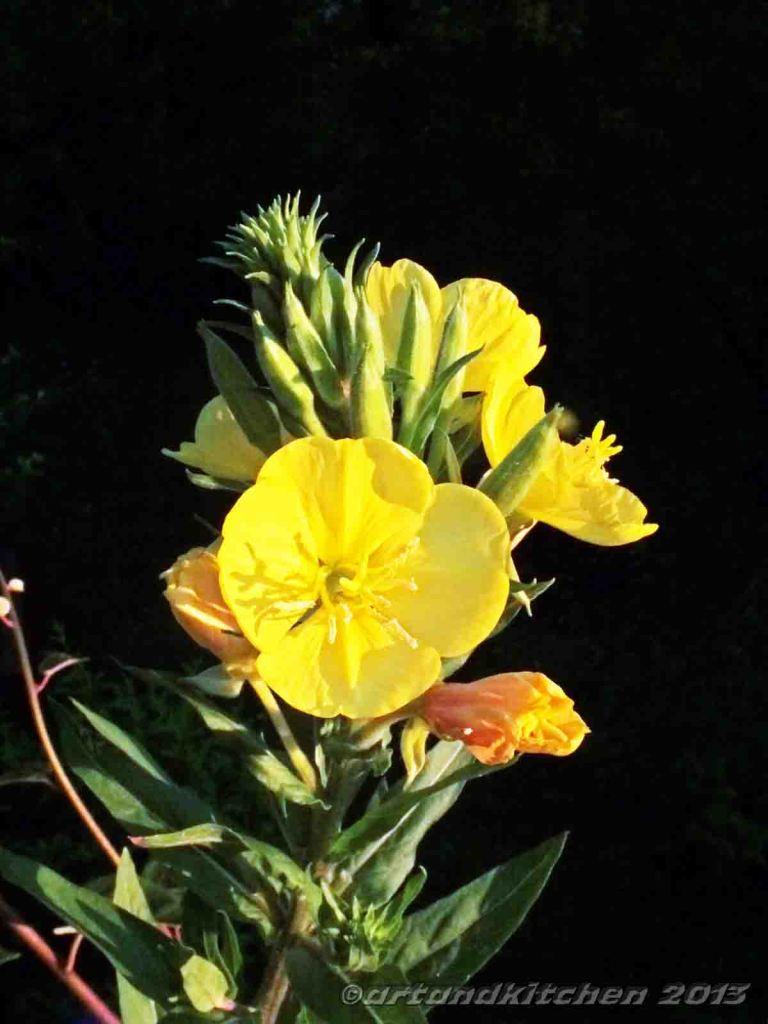 evening primrose flower   artandkitchen