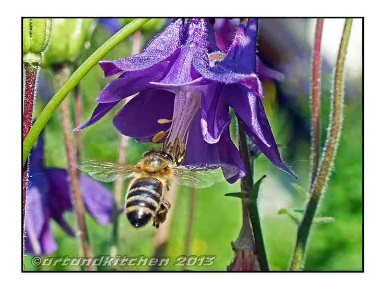 Honey Bee and Columbine Flower