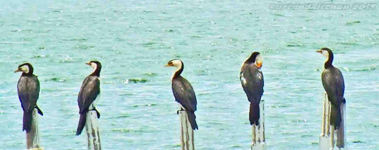 cormorans detail