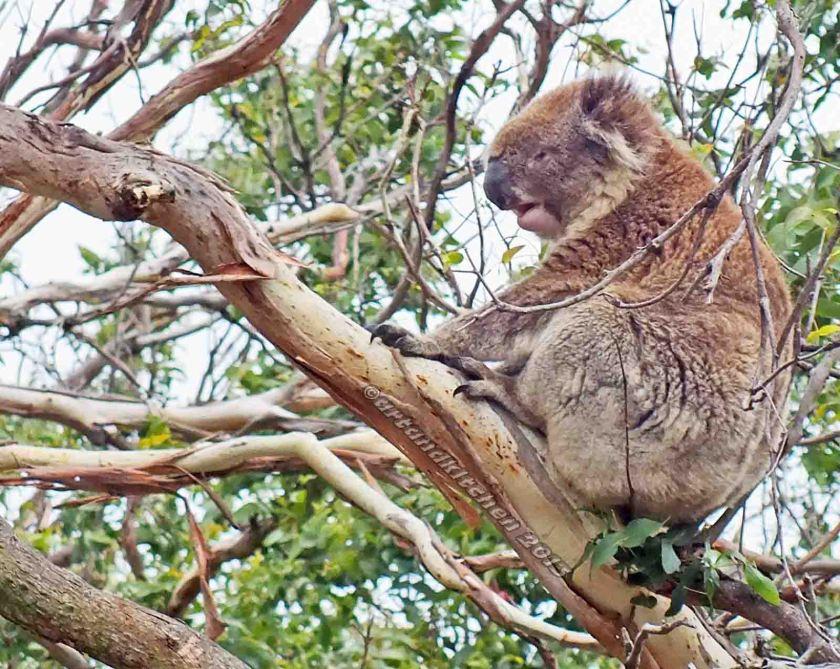 Koalas in Orway National Park 1