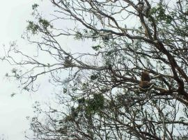 Koalas in Orway National Park 2