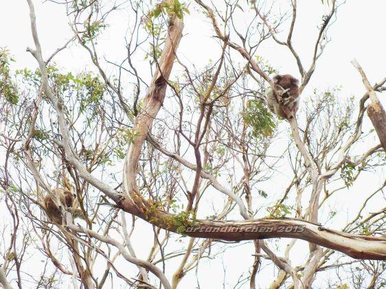 Koalas in Orway National Park 3