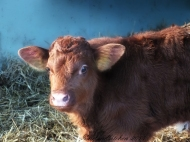 calf brownn warm winter day
