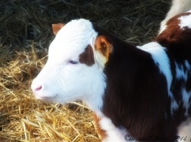 calf white and brownn warm winter day