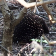 tower hill echidna