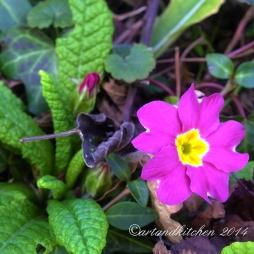 primula purple