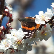 apricot blossom and butterfly 2