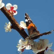 apricot blossom and butterfly 3