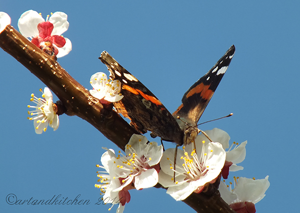 Apricot Blossom and Butterfly