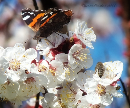 apricot blossom butterfly and bee