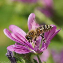 malva and bee 1