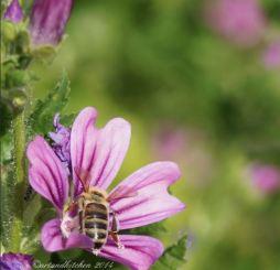 malva and bee 10