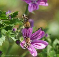 malva and bee 12