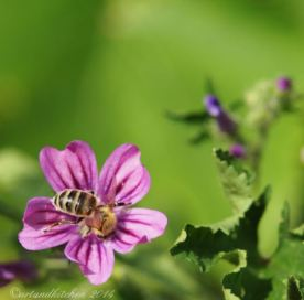 malva and bee 13