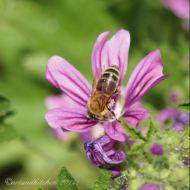 malva and bee 3