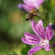 malva and bee 4