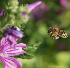 malva and bee 5