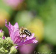 malva and bee 7