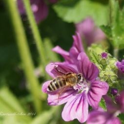 malva and bee 9