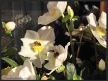 Basel Walking Tour January 2015 _ Münster square flowers on window helleborus niger with bees