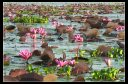 lake-of-water-lilies