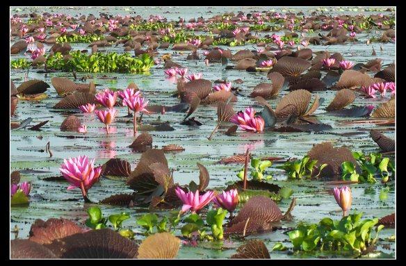 lake-of-water-lilies