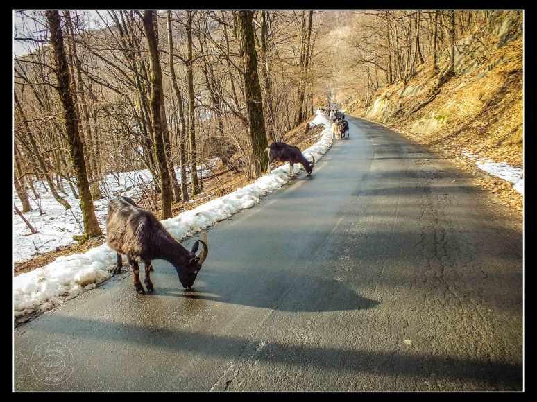 salt-for-goats-or-for-roads